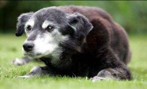 Bella si Anjing