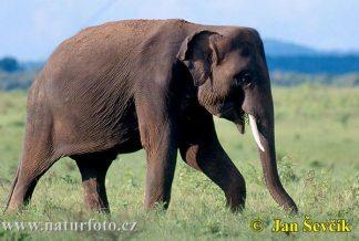Gajah Asia