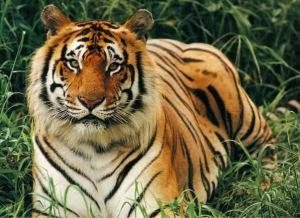Harimau Bengal