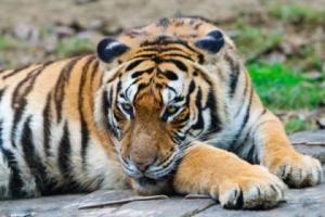 Harimau Cina Selatan