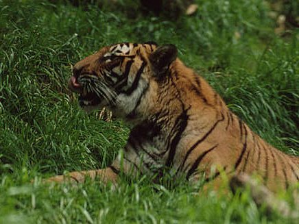 Harimau Indo-tiongkok