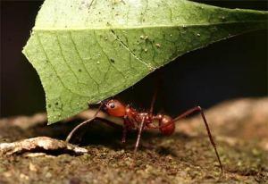 Semut Pemotong Daun
