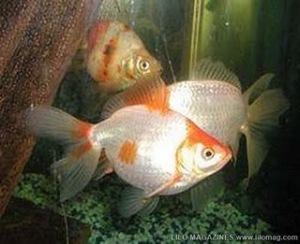Tish si Ikan Mas Yang Berumur 43 Tahun