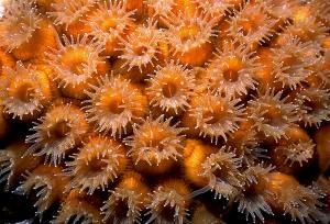 Polip Koral