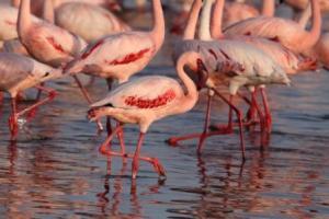 Bangau Flamingo