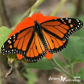 Kupu-Kupu Monarch Jantan