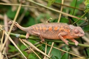 Panther Chameleon Betina