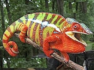 Panther Chameleon Jantan