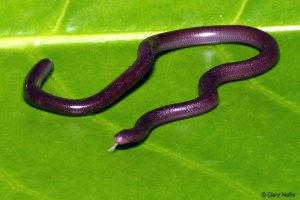 Ramphotyphlops braminus