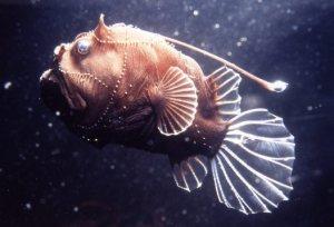 Ikan Angler