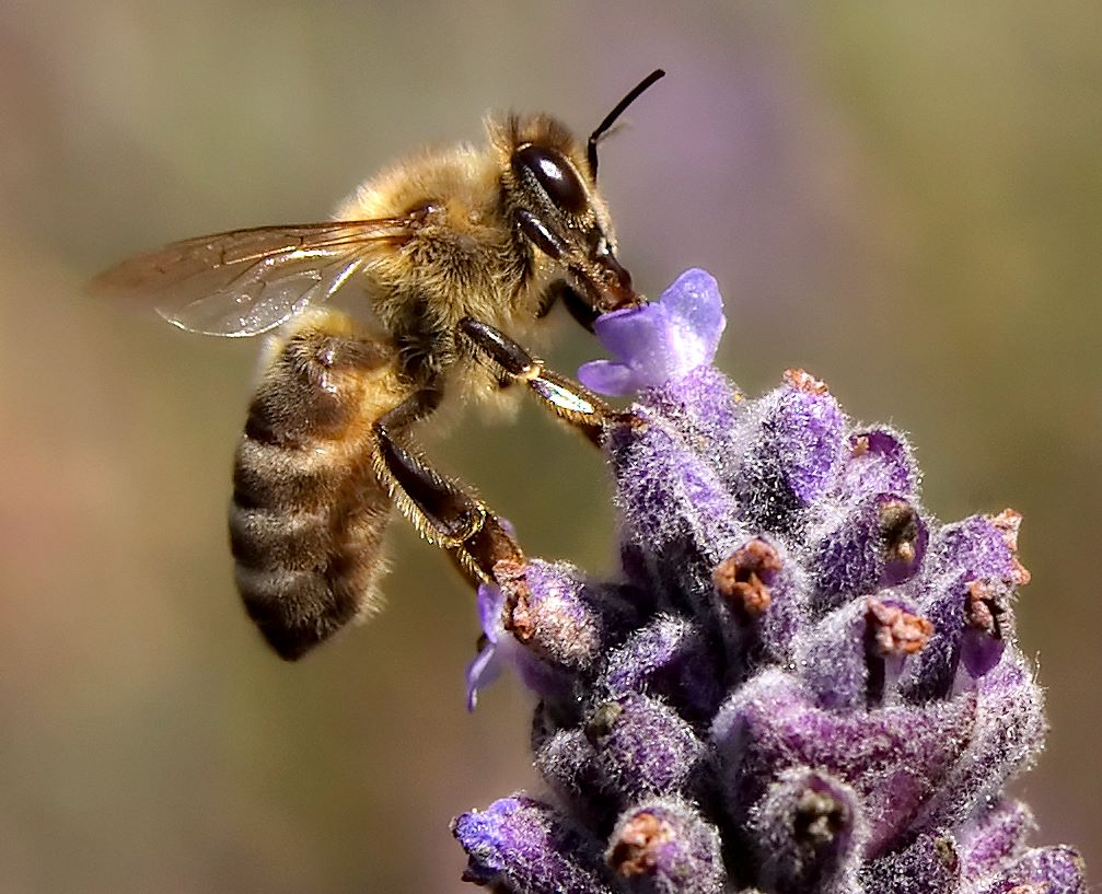 http://arc300.files.wordpress.com/2012/01/apis-mellifera.jpg