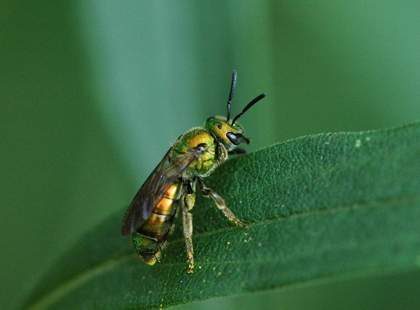 Lebah Keringat