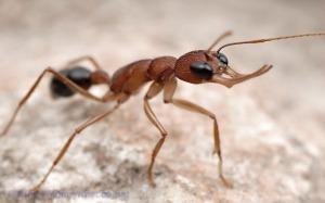 Semut Akasia