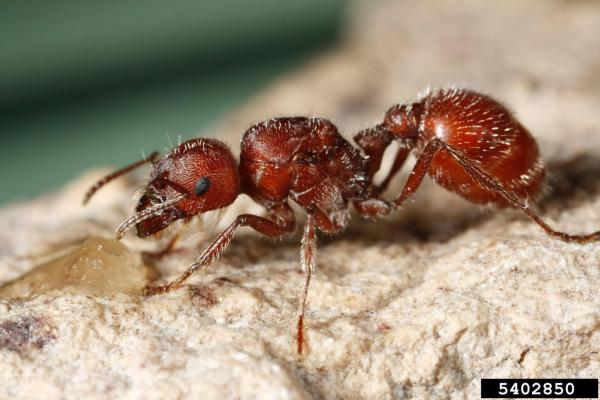 Semut Harvester Merah